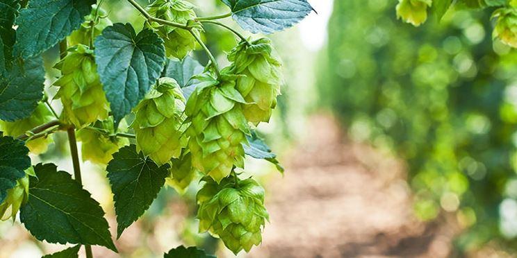 Luppolo birra