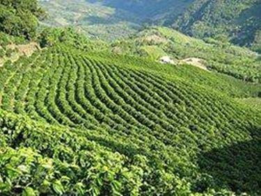 caffe piantagioni
