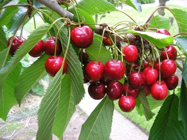 albero ciliegia