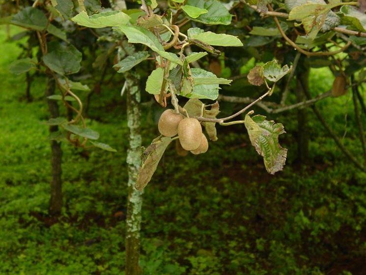 Kiwi alimenti kiwi frutto for Pianta kiwi prezzo