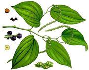 pianta del pepe nero