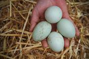 Uovo di anatra