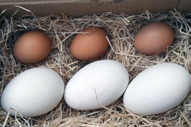 Uovo di oca