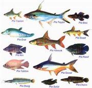 pesci di fiume
