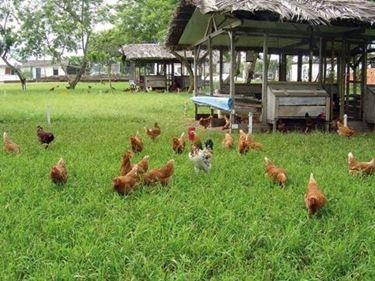 Pollo bio allevato a terra